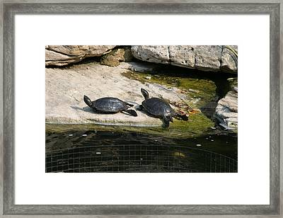 National Zoo - Turtle - 12123 Framed Print