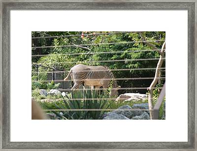 National Zoo - Zebra - 12121 Framed Print by DC Photographer