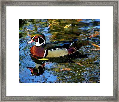 Natural Artwork    Male Wood Duck Framed Print