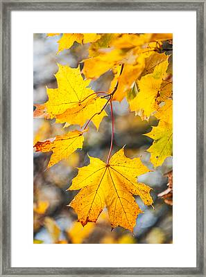 Natural Patchwork. Golden Mable Leaves Framed Print by Jenny Rainbow