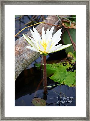 Natural White Water Lily Found On The East Coast Of Cozumel Island Mexico Framed Print by Shawn O'Brien