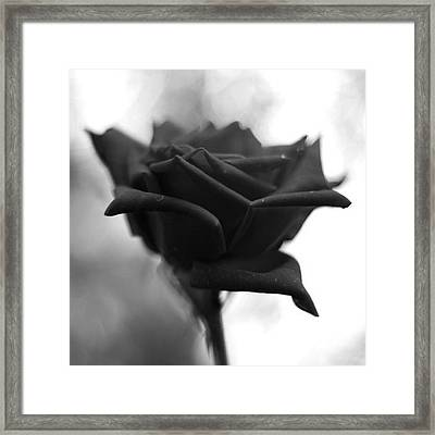 #nature #rose #flower #angiosperm #art Framed Print