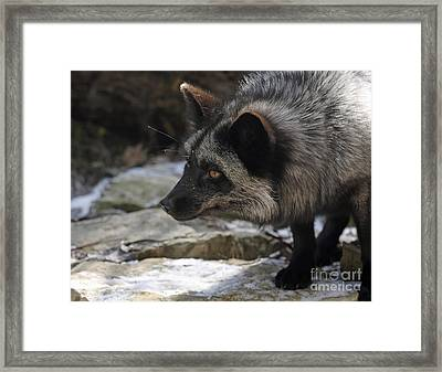 Nature's Beauty Silver Fox  Framed Print by Inspired Nature Photography Fine Art Photography
