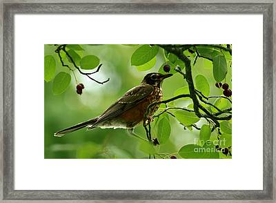 Natures Bounty American Robin Framed Print by Inspired Nature Photography Fine Art Photography