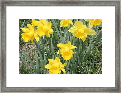 Nature's Golden Trumpets Framed Print by Judy Palkimas