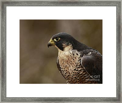 Natures Grace Peregrine Falcon Framed Print by Inspired Nature Photography Fine Art Photography