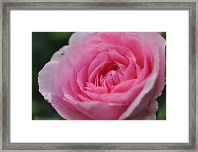 Nature's Pink Framed Print by Sabine Edrissi