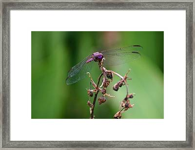 Dragonfly - Nature's Rose Framed Print