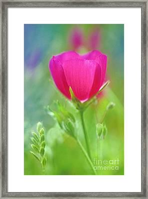 Framed Print featuring the photograph Natures Winecup South Texas by Dave Welling