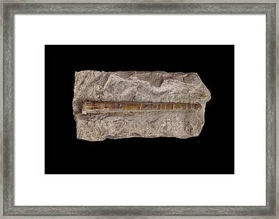 Nautiloid Fossil Framed Print by Science Photo Library