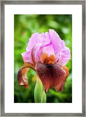 Nazareth Iris Iris Bismarckiana Framed Print by Photostock-israel