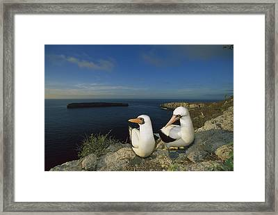 Nazca Booby Nesting Colony Galapagos Framed Print by Tui De Roy