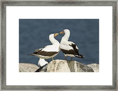 Nazca Booby Pair Framed Print by William H. Mullins