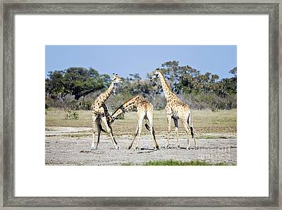 Framed Print featuring the photograph Necking Giraffes Botswana by Liz Leyden