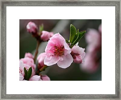 Nectarine Blossom Framed Print