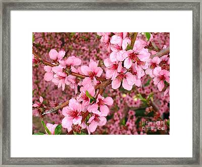Nectarine Blossoms Framed Print by Polly Anna