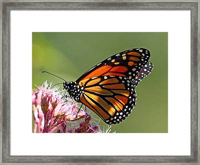 Nectaring Monarch Butterfly Framed Print by Debbie Oppermann