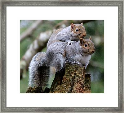 Fifty Shades Of Gray Squirrel Framed Print by Kym Backland