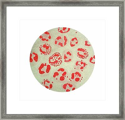 Neisseria Gonorrhoeae Bacterial Colonies Framed Print by Cdc