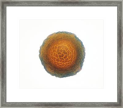 Neisseria Gonorrhoeae Bacterial Colony Framed Print by Cdc