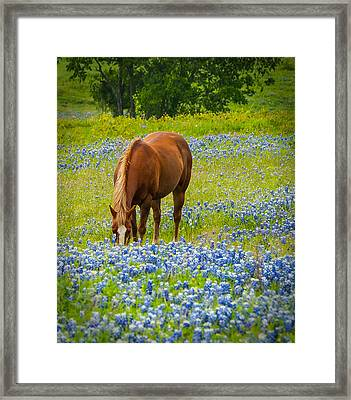 Nelly Grazing Among The Bluebonnets Framed Print by Dee Dee  Whittle