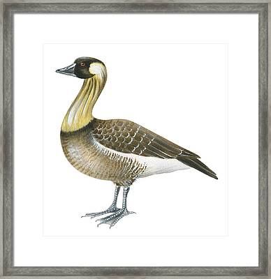Nene Framed Print by Anonymous