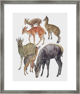 Neotraginae Mammals Framed Print by Deagostini/uig/science Photo Library