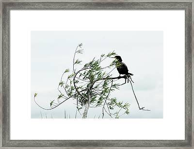 Neotropic Cormorant Framed Print by Norman Johnson