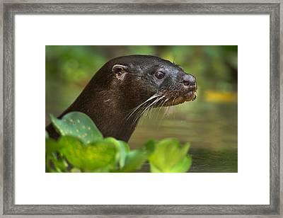 Neotropical Otter Lontra Longicaudis Framed Print