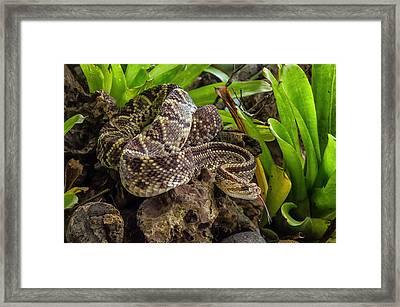 Neotropical Rattlesnake Framed Print