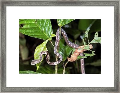 Neotropical Snail-eater Framed Print