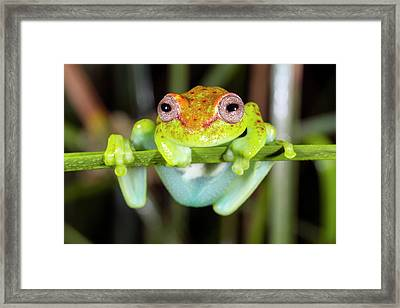 Neotropical Spotted Treefrog Framed Print by Dr Morley Read
