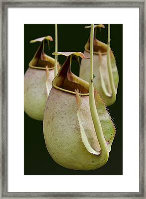 Nepenthes Framed Print by Roger Leege