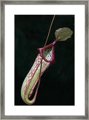 Nepenthes X Mixta Framed Print