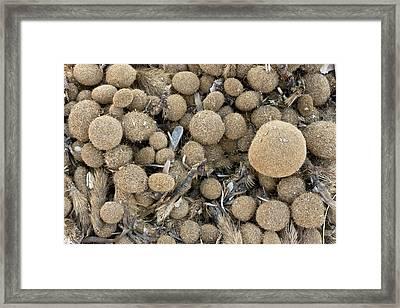 Neptune Grass Egagropili Framed Print by Bob Gibbons