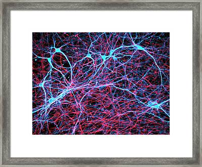 Nerve And Glial Cells Framed Print by Daniel Schroen, Cell Applications Inc