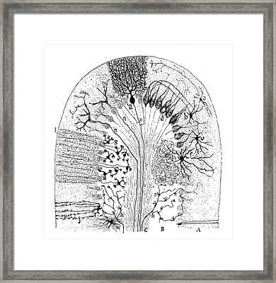 Nerve Cells, 1894 Framed Print by Granger