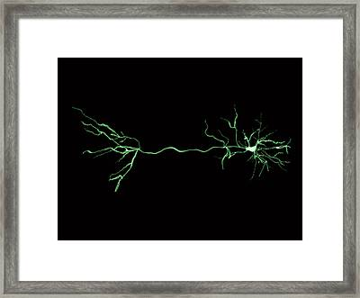 Nerve Cells And Synapse Framed Print
