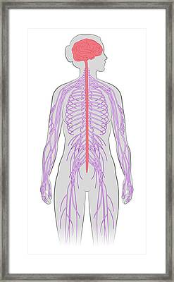 Nervous System, Illustration Framed Print by MedicalWriters