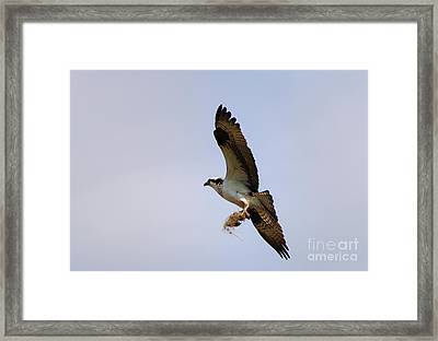 Nest Builder Framed Print by Mike  Dawson