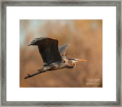 Nest-building Great Blue Framed Print by Robert Frederick
