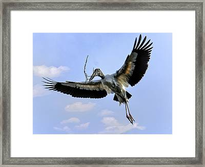 Nest Building Woodstork Framed Print