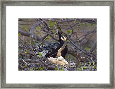 Nesting Anhingas Framed Print by Mark Newman