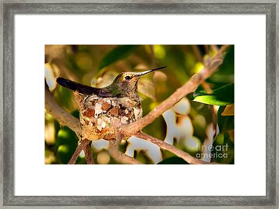 Nesting Anna's Framed Print by Robert Bales