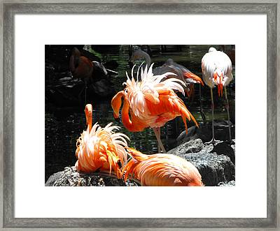 Nesting Flamingos Framed Print by Phyllis Britton