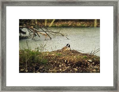Nesting Goose Framed Print by Belinda Greb
