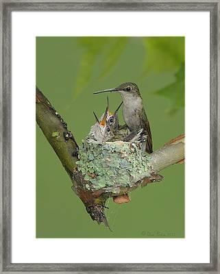 Nesting Hummingbird Family Framed Print by Daniel Behm
