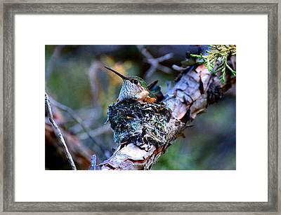 Nesting Hummingbird Framed Print