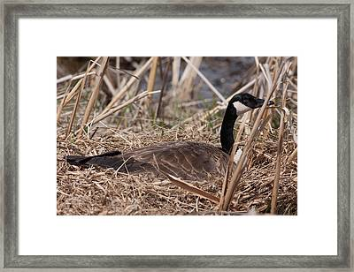 Nesting Mother Goose Framed Print by Natural Focal Point Photography