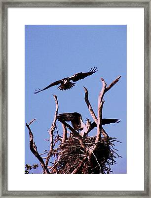 Nesting Ospray 2 Framed Print by Will Boutin Photos